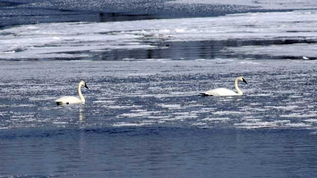 Two fine feathered friends in Whiteshell River. Photo by Ilona Naurocki.