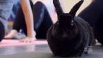 Rabbit pose? Bunny yoga class at Simon Fraser