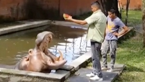 Hippopotamus named Gustavito is fed at the San Salvador Zoo in El Salvador, on March 10, 2014. (Canal 9 via AP)