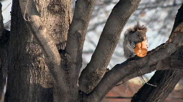 A squirrel eats a crust of bread as Montreal basked in unusually mild weather on Feb. 27, 2017. The temperature will remain in double digits until Wednesday before returning to normal.
