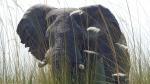In this Sept. 5, 2016 photo, an elephant, in Botswana's Okavango Delta, allowed viewers a close approach via a boat drifting quietly through tall grass. (Dean Fosdick via AP)