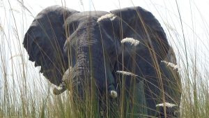 In this Sept. 5, 2016 photo, an elephant, in Botswana's Okavango Delta, allowed viewers a close approach via a boat drifting quietly through tall grass. (Dean Fosdick via AP)
