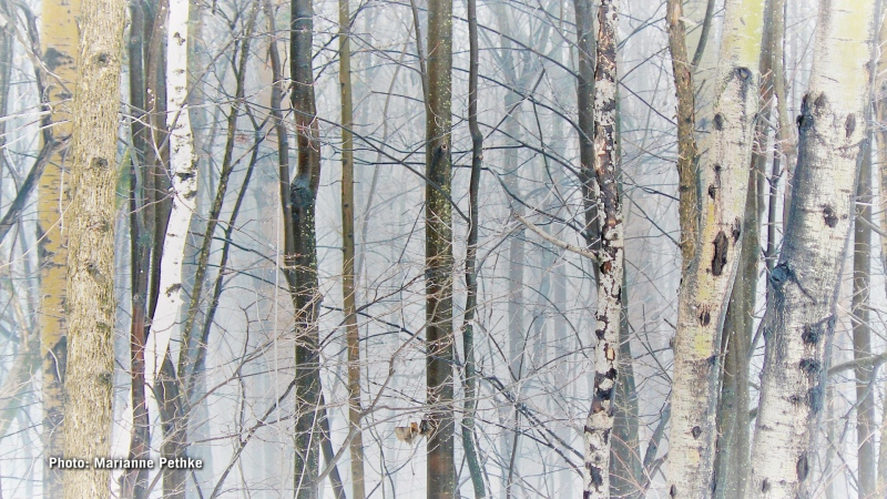 """""""Foggy Forest"""" in Orléans. (Marianne Pethke/CTV Viewer)"""