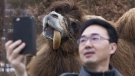 A journalist takes a selfie with Alice, a 20-year-old Bactrian Camel native to Mongolia, at the Toronto Zoo on Monday, March 7, 2016. THE CANADIAN PRESS/Chris Young