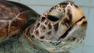 The female green green turtle nicknamed Bank swims in a pool at Sea Turtle Conservation Centre in Chonburi Province, Thailand after veterinarians removed 914 coins from the endangered animal on Monday, March 6, 2017. (Sakchai Lalit/THE ASSOCIATED PRESS)