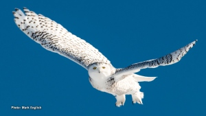 The snowy owls will be heading north shortly. (Mark English/CTV Viewer)