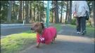 Sawatsky Sign-Off- Wiener Dog Walk