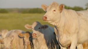 DUC-cattle
