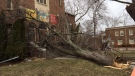 A fallen tree rests on the steps of the Wesley Mimico United Church on Mimico Avenue, north of Lake Shore Boulevard following a wind storm Wednesday March 8, 2017. (Kyle  Surowicz/CP24)