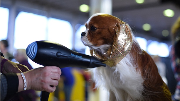 King Charles Spaniel breed