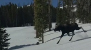 Something you don't see every day: Moose hitting t