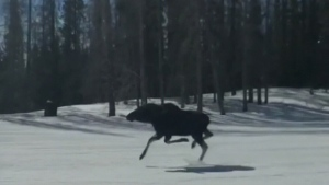 Caught on cam: Moose hits the ski slopes