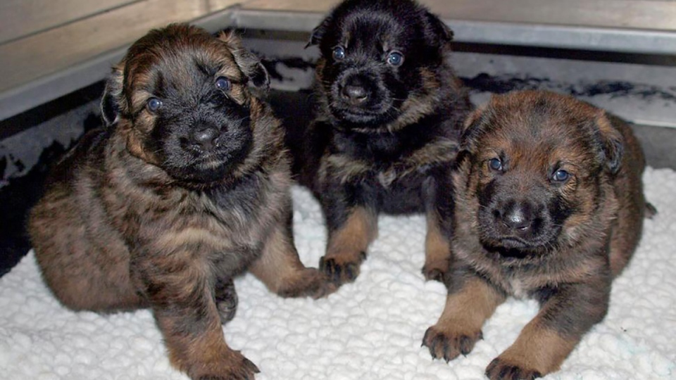 The Name the Puppy 2017 contest is held yearly to name 13 German shepherd fur balls that will grow up to be RCMP police dogs. (RCMP photo)