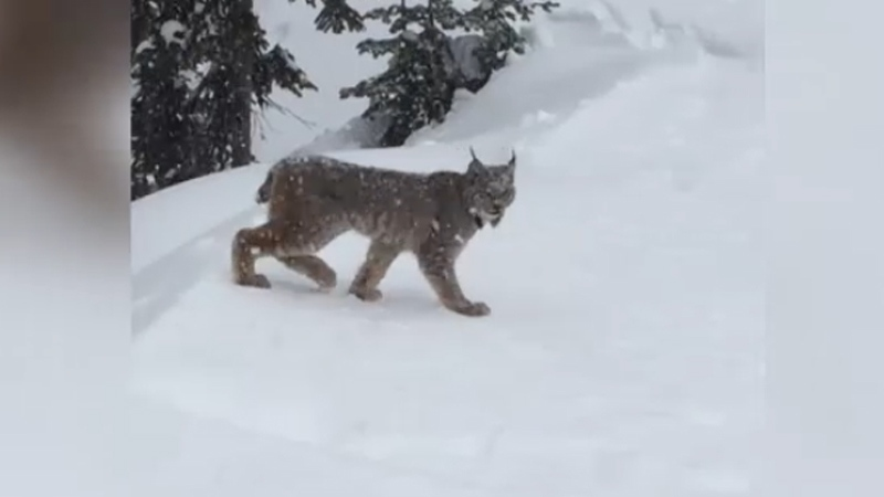 Lynx caught crossing ski slope in Kelowna