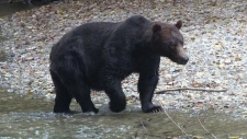 B.C. bears could be shipped to Washington State