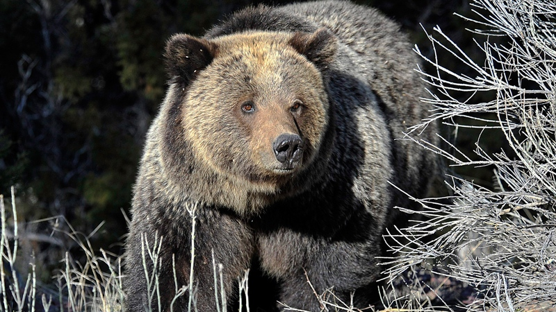 Grizzly Attack In Bc Hiker Fought Back With Knife