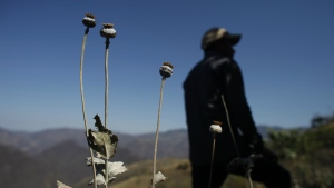 In this Jan. 27, 2015 file photo, a man stands in a poppy flower field that the government sprayed with an herbicide in the Sierra Madre del Sur mountains of Guerrero state, Mexico. (AP / Dario Lopez-Mills, File)