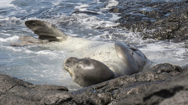 Hawaiian monk seal known as RB18