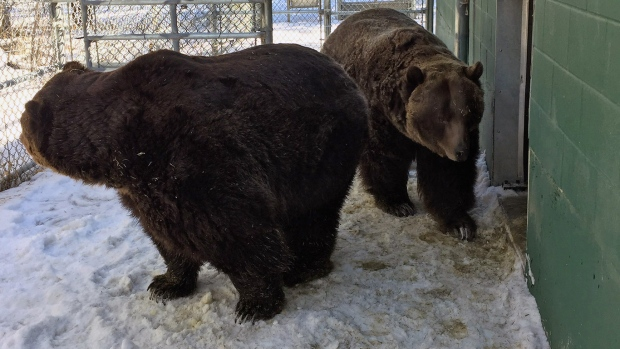 Grizzly bears Mistaya and Koda