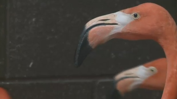 Eight Caribbean flamingos have arrived at the Magnetic Hill Zoo in Moncton.
