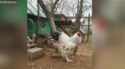 Massive 'behemoth' chicken terrifying the internet