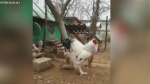 Massive 'behemoth' chicken terrifying the internet