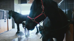 PSH Ortona joined the Mounted Unit in March. (YouTube/CPS)
