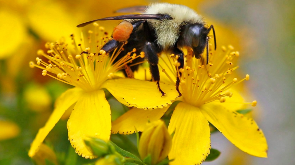 Bumblebee colonies at risk of extinction after pesticide exposure: study