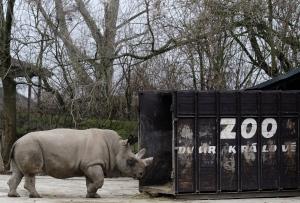 In this Dec. 16, 2009 file photo a Northern White Rhino named Fatu, walks into a practice transport box at the zoo in Dvur Kralove nad Labem, Czech Republic. (AP / Petr David Josek, File)