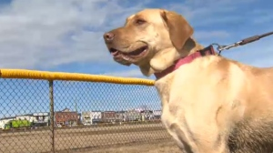 Calgary - Cancer detecting dog