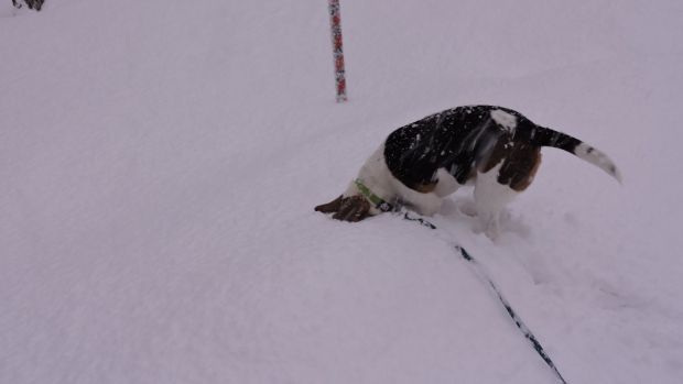 I love snow, but perhaps you think Bailey the beagle has the right idea this morning! Thanks to Carol and Allan from New Albany NS for sharing!