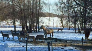 Deers still waiting for Spring. Photo by Sheri.