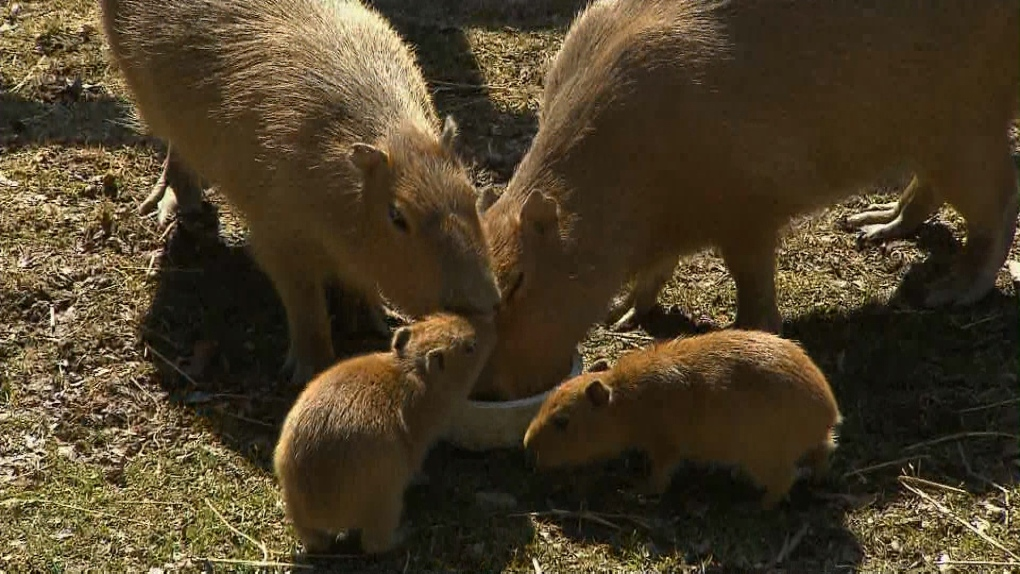 High Park Zoo turns to public for help naming capybara