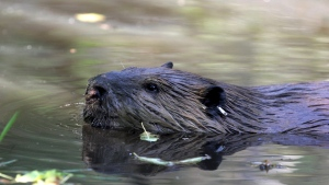 The beaver has been Canada's national animal since 1975. (Manuel Valdes / AP)