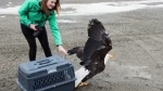 Eagle recovers after being rescued from trap