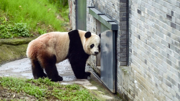 The giant panda Bao Bao stands in an enclosure at its new home at the panda research base in Dujiangyan in southwest China's Sichuan province Friday, March 24, 2017. (Chinatopix via AP)