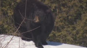 Bears wake up at Ecomuseum