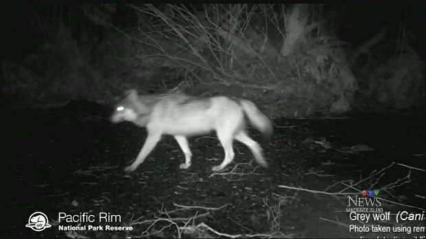 Beaches closed after wolves attack dogs
