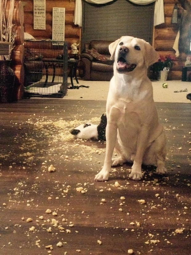 """This is Jaxson. """"He got a hold of a teddy bear and was so proud he shredded it to pieces and left stuffing all over the place."""" (Emma Rebecca Johnson)"""