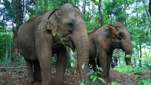 This June 2015 photo shows two of the elderly elephants that are part of the Mondulkiri Project in Mondulkiri Province in eastern Cambodia. (Kristi Eaton via AP)