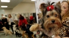 Teddy, a Yorkshire Terrier, poses for a photo as others in the American Kennel Club's rankings line-up, in New York, Tuesday, March 21, 2017. (Richard Drew/AP Photo)
