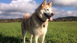 Sadie the husky