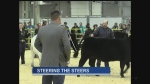 A Junior Beef Expo in London saw cattle farmers under age 21 showing off their prized steers.