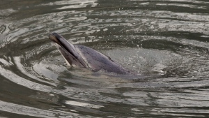 In this Jan. 25, 2013 file photo, a dolphin surfaces in the Gowanus Canal in the Brooklyn borough of New York. (Richard Drew / AP)