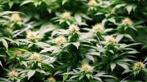 Canadians should be able to smoke marijuana legally by July 1, 2018, a government source has confirmed. (THE CANADIAN PRESS/Ron Ward)