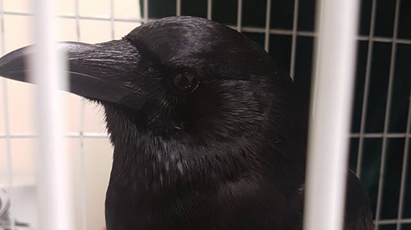 canuck the crow allegedly hurt on purpose at vancouver. Black Bedroom Furniture Sets. Home Design Ideas