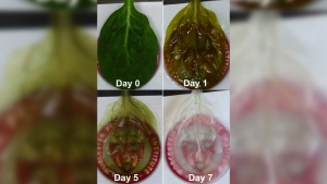 Although the research is still in its early stages, a group of U.S. scientists has been able to successfully grow heart tissue on the leaves of spinach. (Source: Worcester Polytechnic Institute)