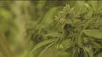 CTV Ottawa:  Pot to be legal by July 1st 2018