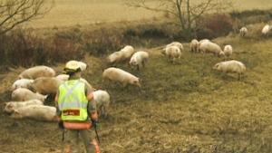 pigs ontario
