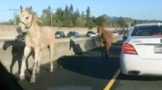 In this image made from a video provided by @slimjanders a white horse and a brown mule run across Interstate 680 east of San Francisco on Monday, March 27, 2017.  (@slimjanders via AP)